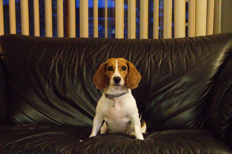 piesek siedzi na kanapie